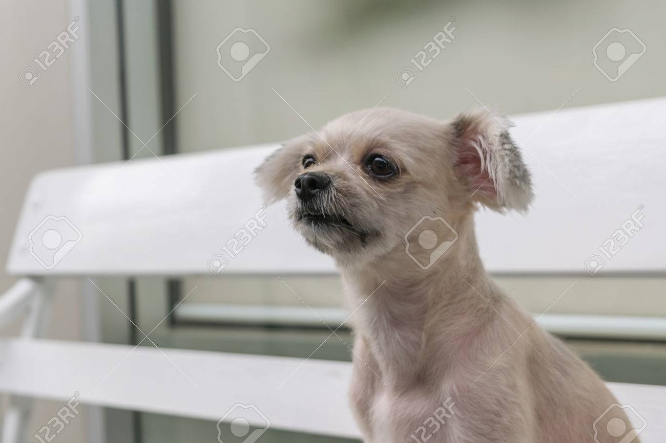 Dog So Cute Mixed Breed With Shih Tzu Pomeranian And Poodle