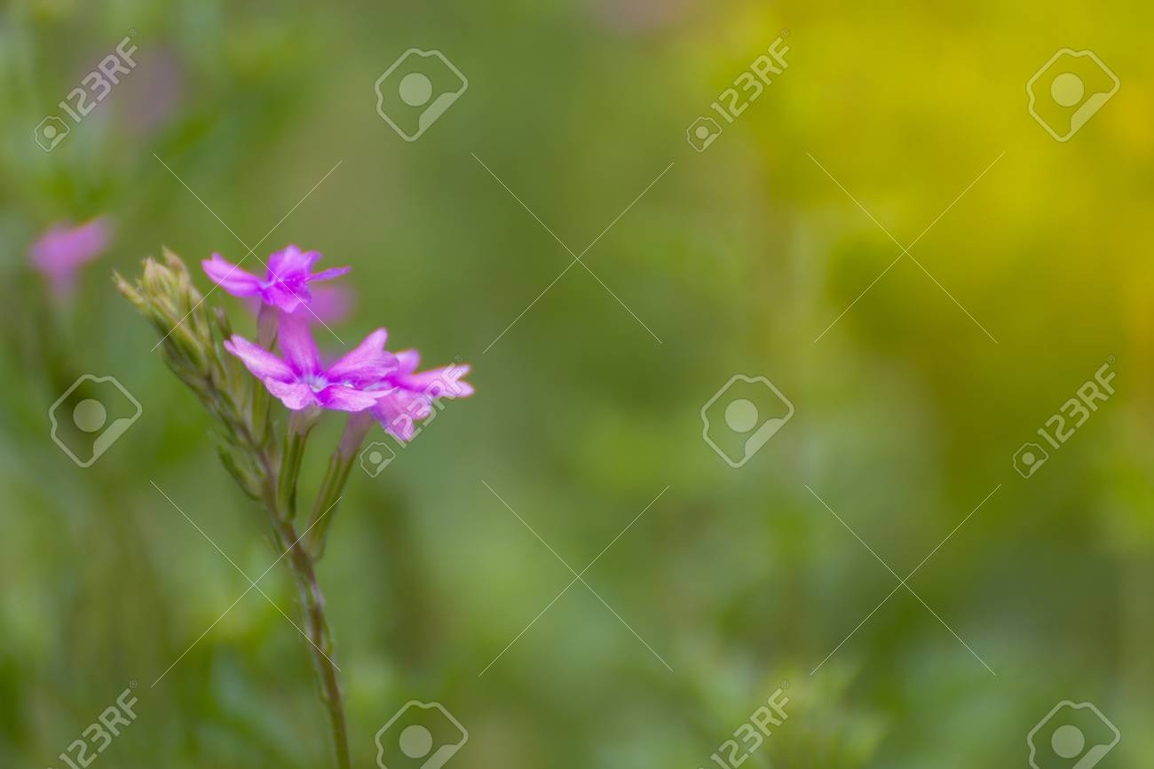 Flower Purple Violet Pink Color Naturally Beautiful Flowers