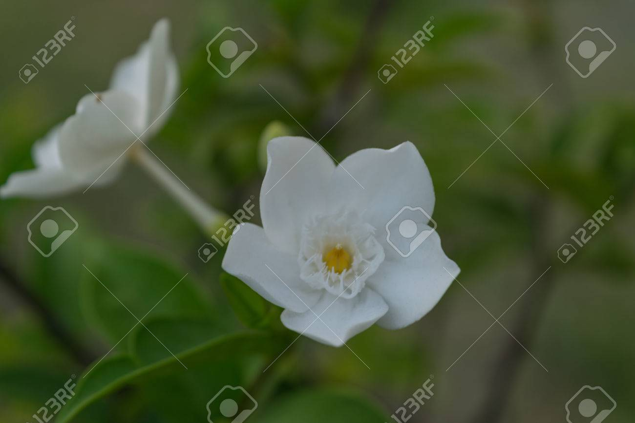 Flower wrightia antidysenterica wal idda or white angel flower flower wrightia antidysenterica wal idda or white angel flower white color naturally mightylinksfo