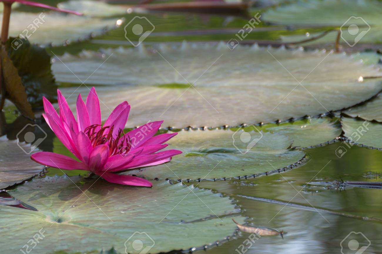 Lotus Flower Lotus Or Nelumbo Purple Violet And Pink Color