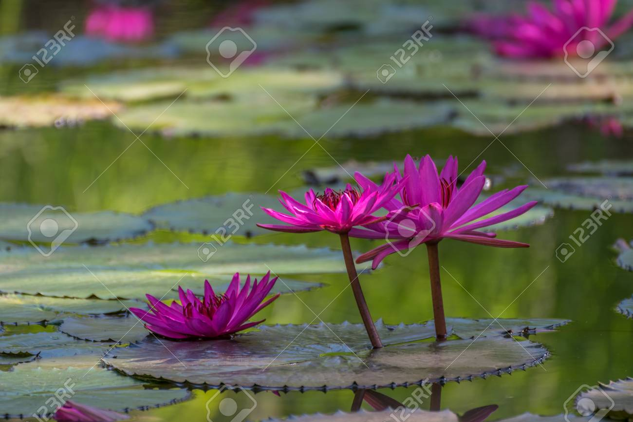 Lotus flower lotus or nelumbo purple violet and pink color lotus flower lotus or nelumbo purple violet and pink color naturally beautiful izmirmasajfo Images