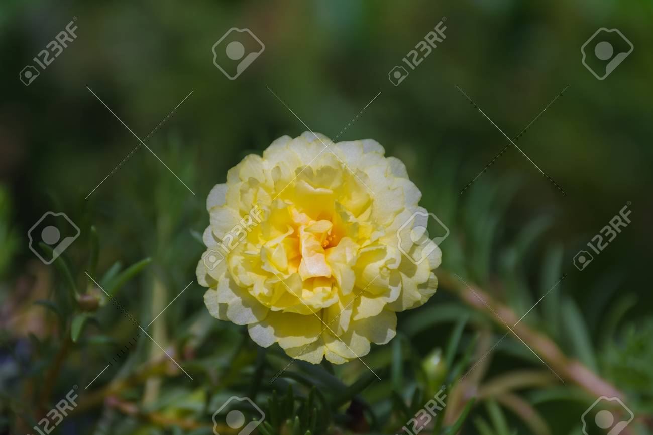 Flower Portulaca Moss Rose Sun Plant Sun Rose Flower Yellow