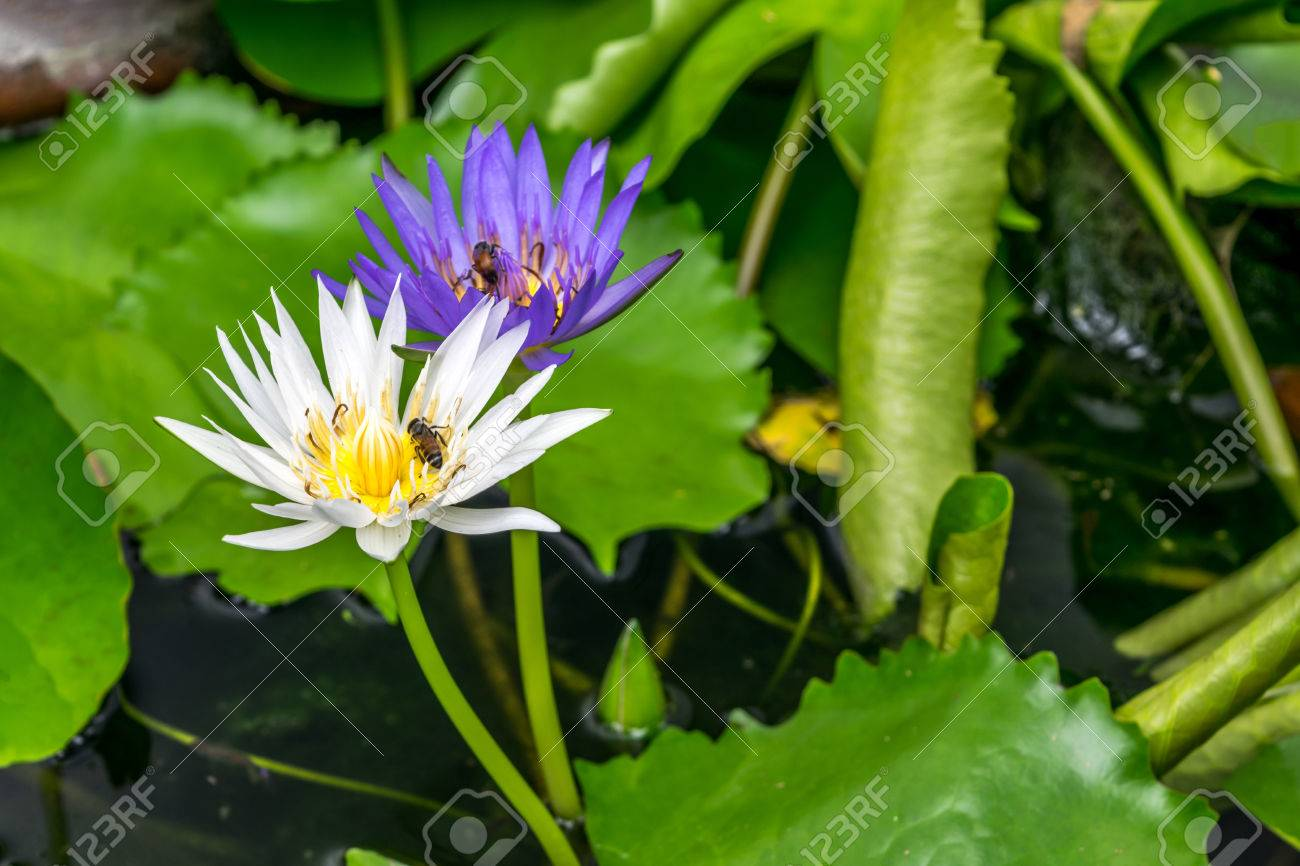 Lotus flower lotus water lily tropical water lily or nymphaea lotus flower lotus water lily tropical water lily or nymphaea nouchali izmirmasajfo Images