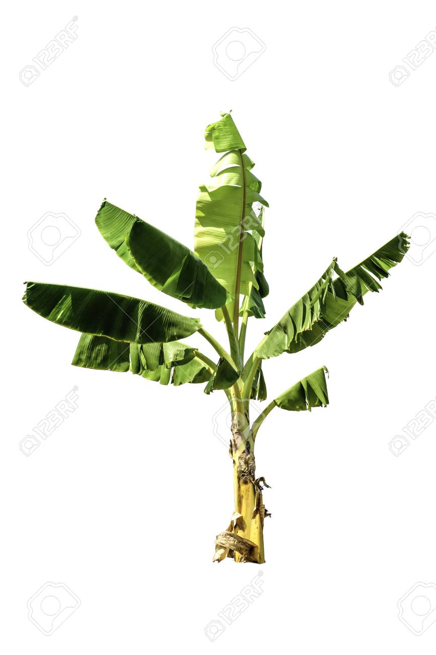 Tree (Banana Tree) Green Color Isolated On White Background Stock ...