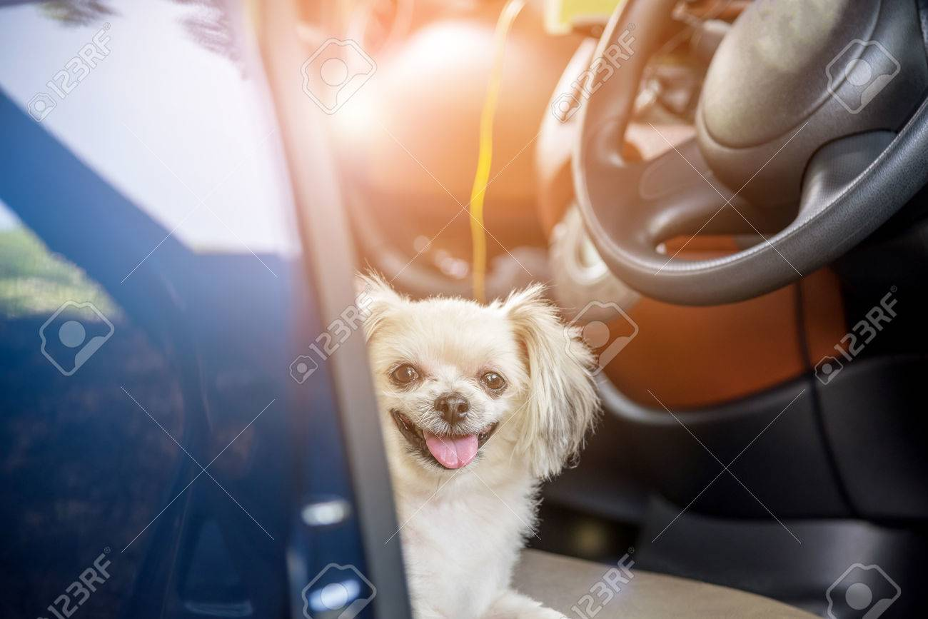 Dog so cute mixed breed with Shih-Tzu, Pomeranian and Poodle sitting on car seat inside a blue car wait for travel trip - 80163985