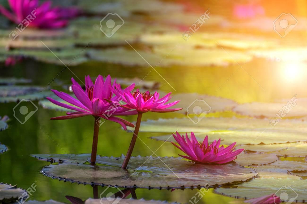 Lotus flower (Lotus or Nelumbo) purple, violet and pink color,..