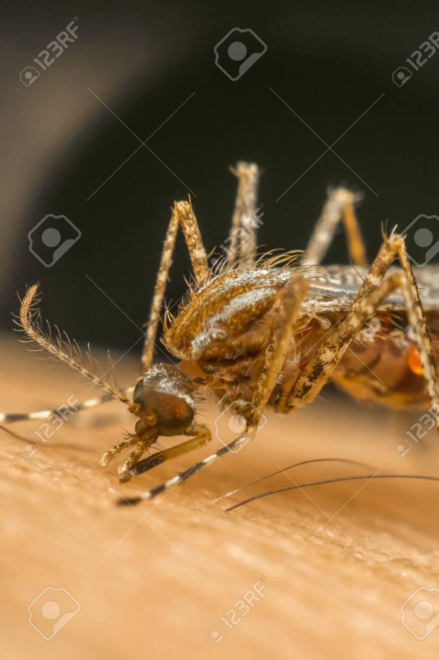 Macro della zanzara (Aedes aegypti) succhia il sangue vicino alla pelle  umana  La zanzara è portavoce della malaria
