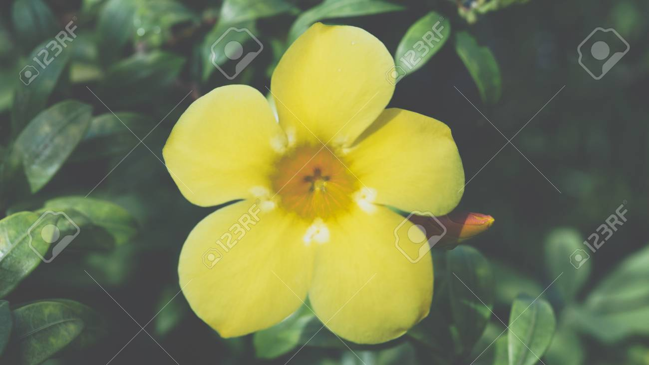 Flower Allamanda Golden Trumpet Flower Yellow Color Naturally