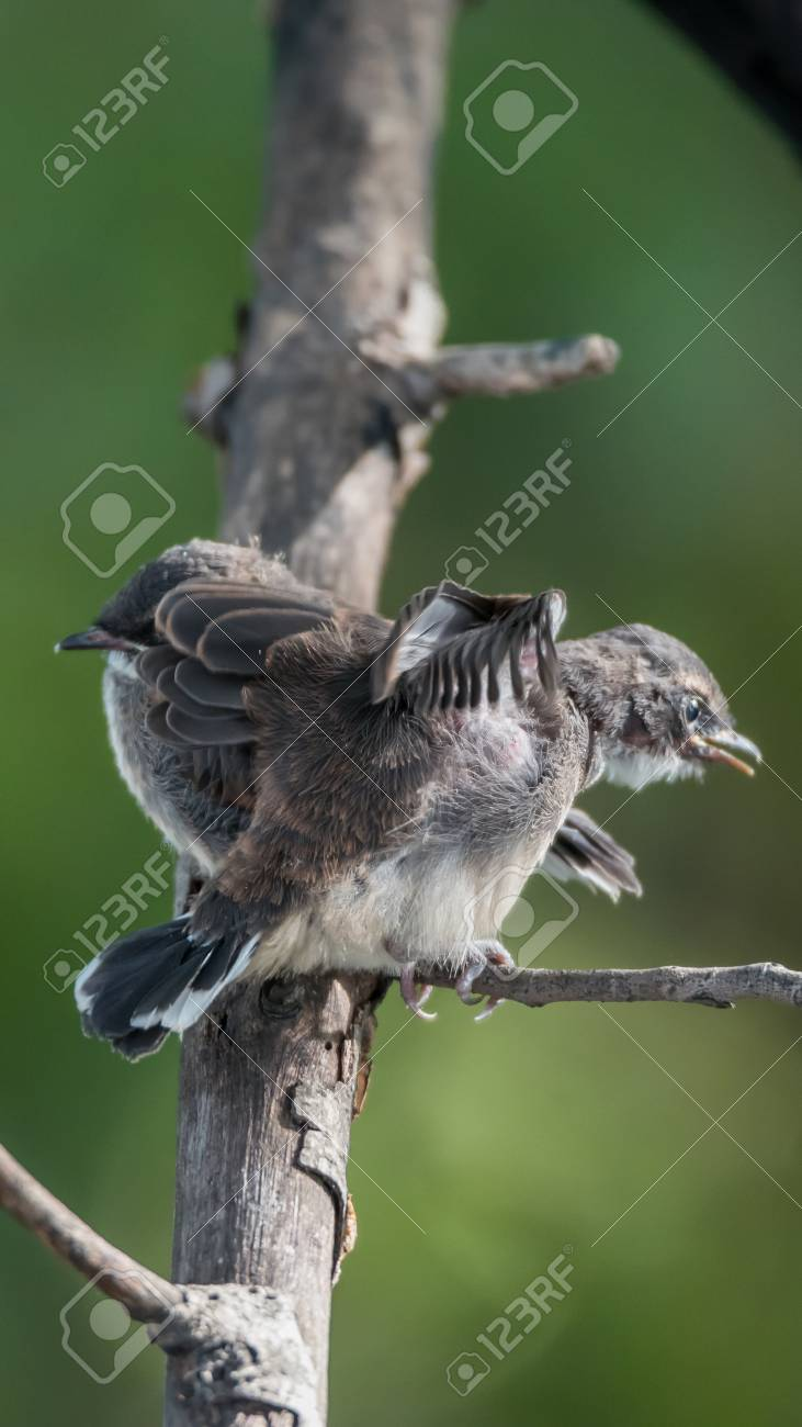 72bf7730b9e Stock Photo - Two birds (Pied Fantail Flycatcher