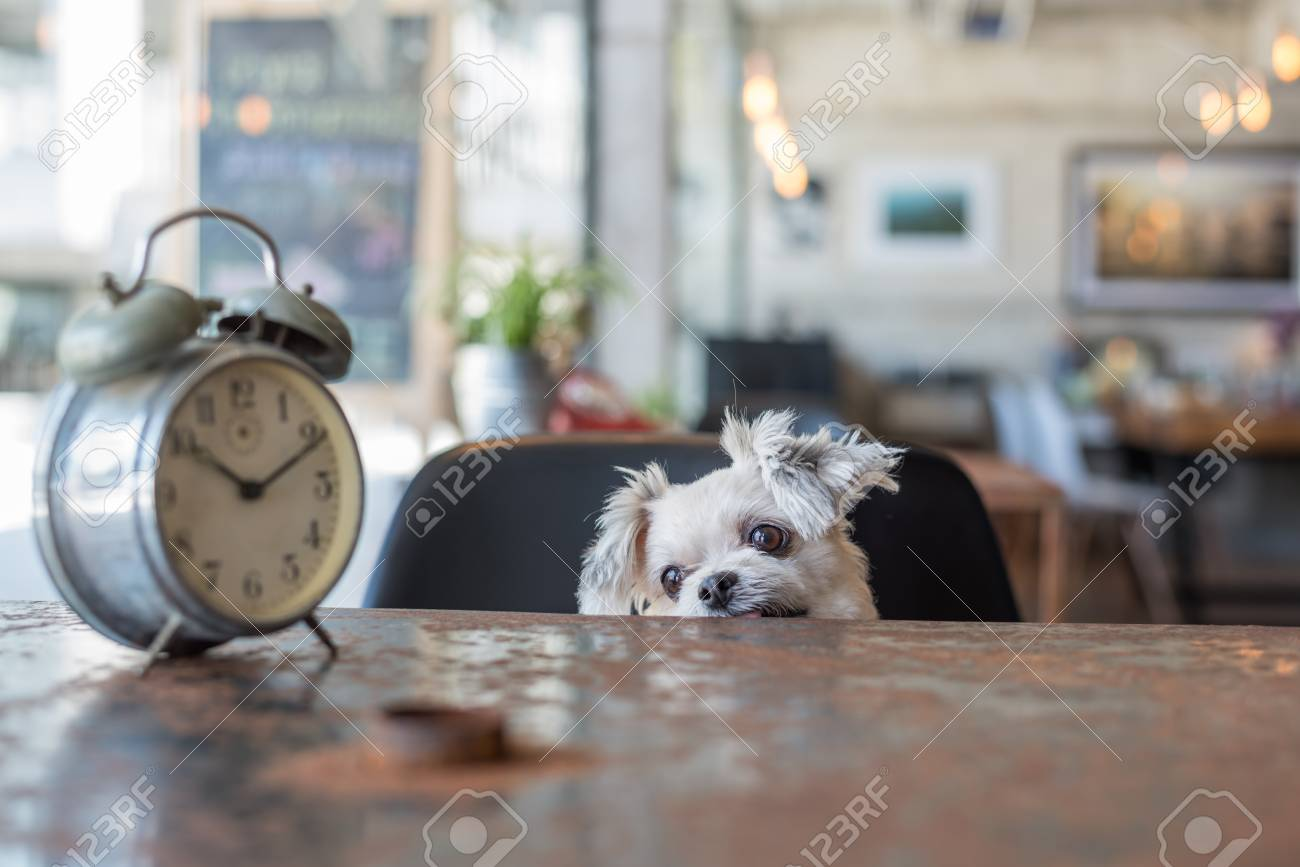 Sweet dog so cute mixed breed with Shih-Tzu, Pomeranian and Poodle looking something in a coffee shop cafe with a clock vintage style - 89604366