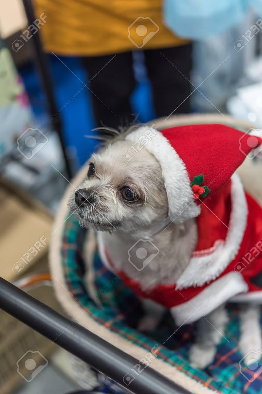 Cão Doce Tão Bonito Misturado Raça Com Shih Tzu Pomeranian E Poodle Procurando Algo Com Vestido De Papai Noel E Chapéu