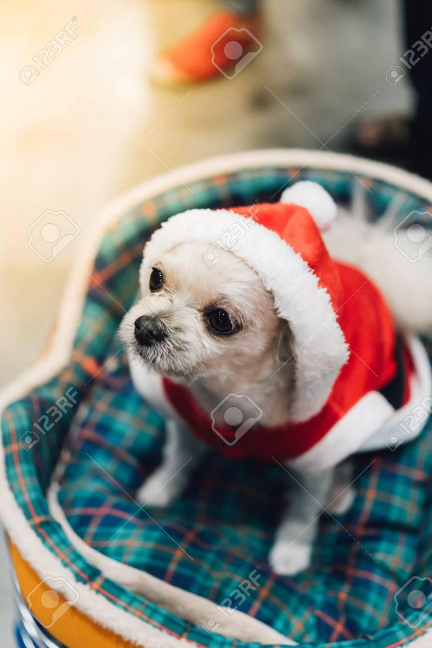 Cão Doce Tão Bonito Misturado Raça Com Shih Tzu Pomeranian E Poodle Procurando Algo Com Vestido De Papai Noel E Chapéu Em Feliz Natal E Celebração De