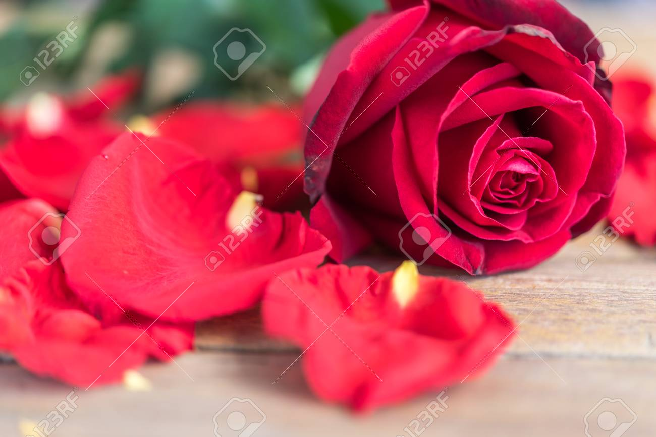 Red rose flower nature beautiful flowers from the garden and stock red rose flower nature beautiful flowers from the garden and petal of red rose flower for izmirmasajfo