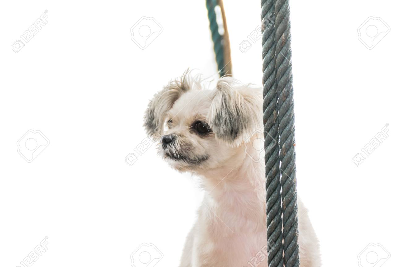 Dog So Cute Beige Color Mixed Breed With Shih Tzu Pomeranian
