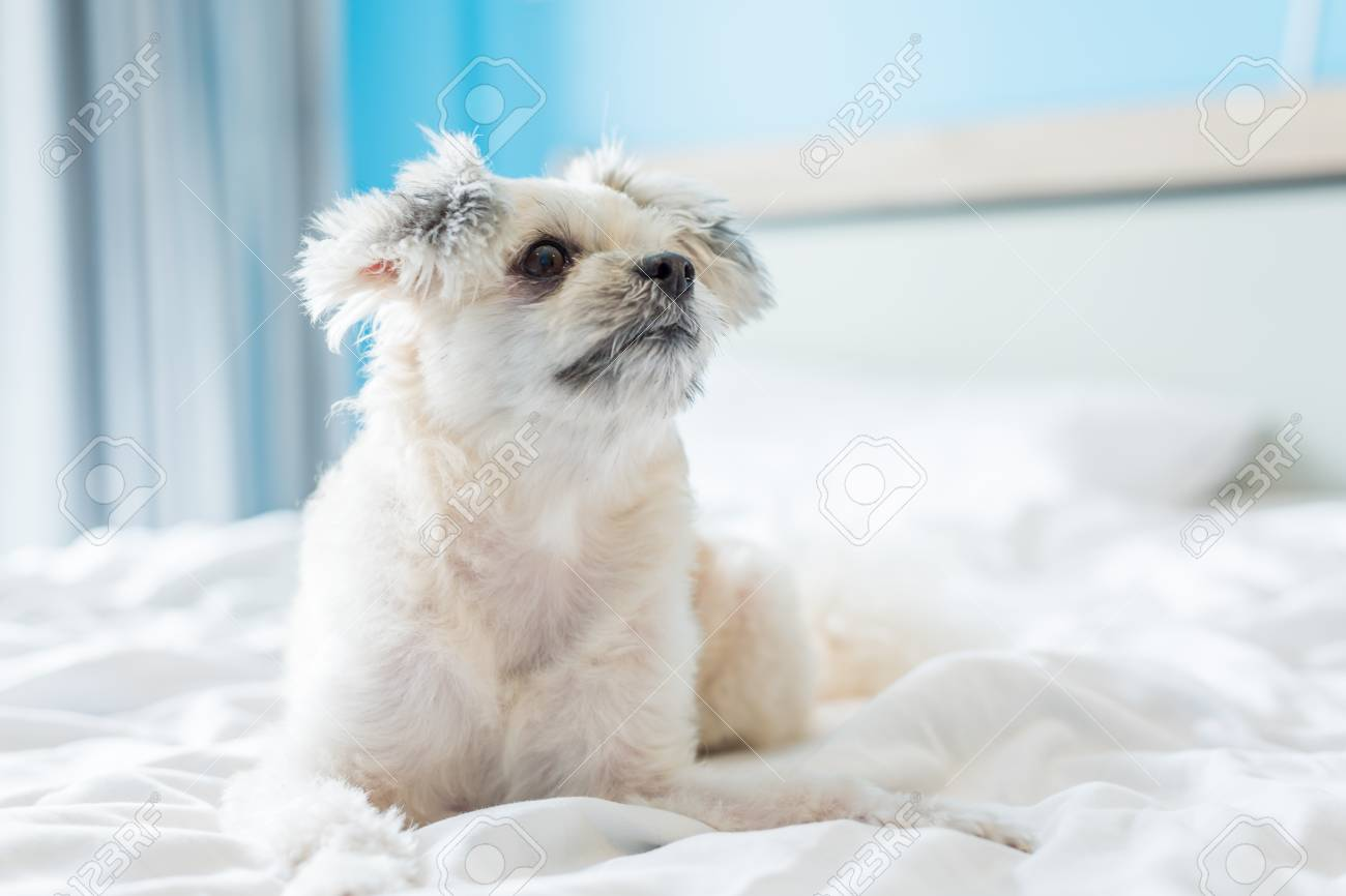 Dog So Cute Mixed Breed With Shih Tzu Pomeranian And Poodle Stock