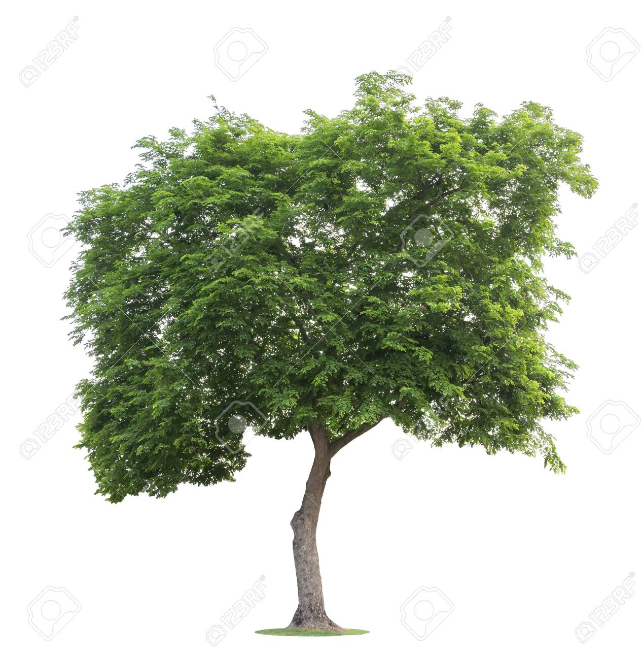 The big and green tree isolated on white background. Beautiful and robust trees are growing in the forest, garden or park. - 124421790