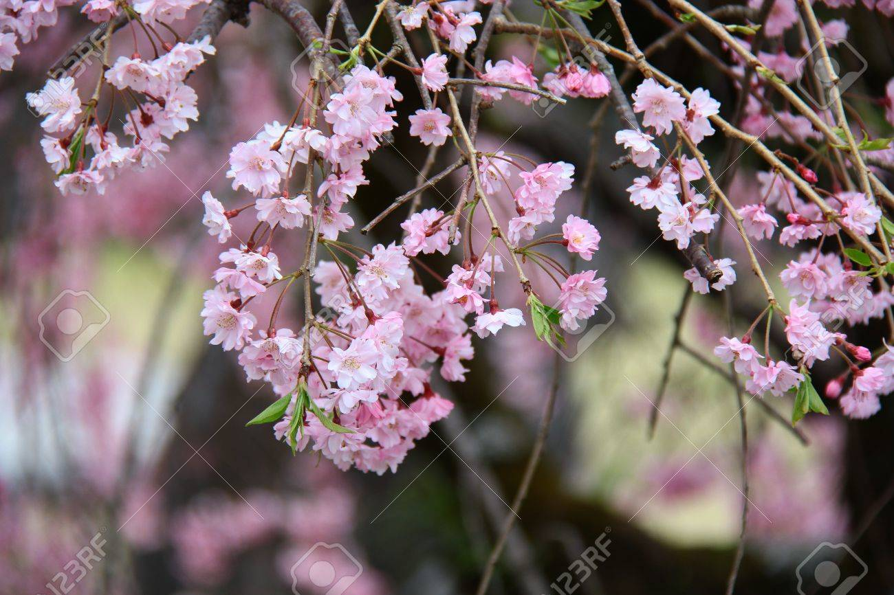 The Pink Japanese Flower Name Is Sakura Stock Photo Picture And