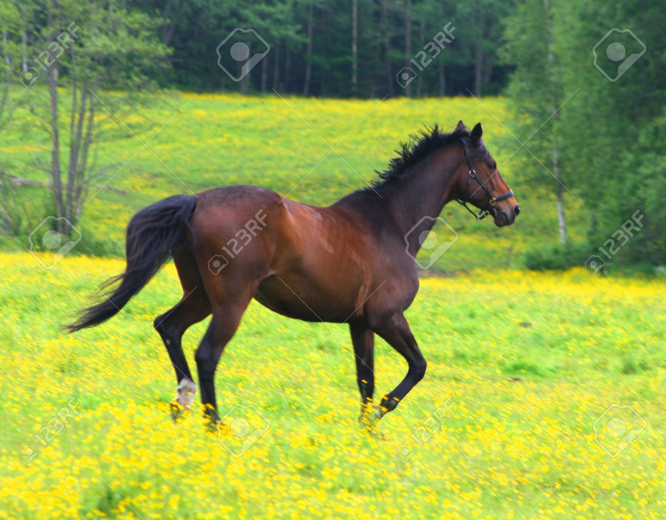 Beautiful Brown Horse Running Across A Yellow Field Stock Photo Picture And Royalty Free Image Image 7405161