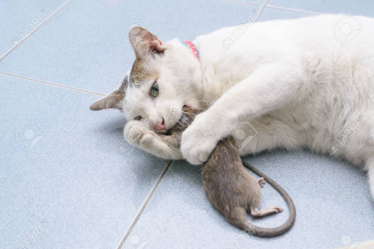 Como Atrapar Ratones En Casa. Beautiful Carnada Havoc Para Ratas U ...