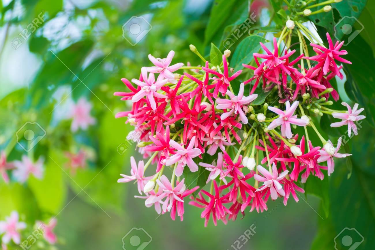 Thai small pink flowers blossom quisqualis indica flower plant stock photo thai small pink flowers blossom quisqualis indica flower plant chinese honeysuckle rangoon creeper or combretum indicum shallow focus mightylinksfo