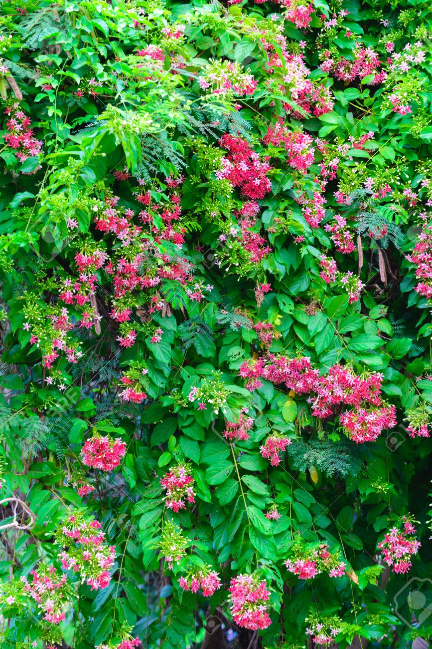 Thai Small Pink Flowers Blossom Quisqualis Indica Flower Plant