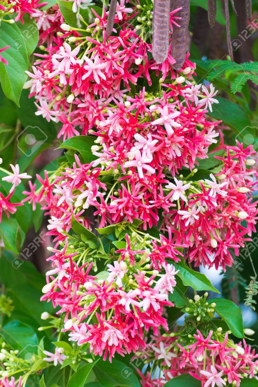 Thai small pink flowers blossom quisqualis indica flower plant stock photo thai small pink flowers blossom quisqualis indica flower plant chinese honeysuckle rangoon creeper or combretum indicum shallow focus mightylinksfo