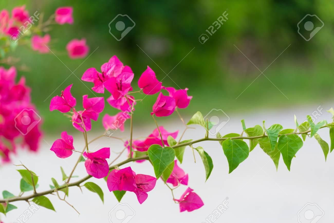 Fleur de Bougainvillea rose ou Fleur de papier avec des feuilles dans le  jardin. fond végétal flou, fleurs asiatiques, dof peu profond ton doux.