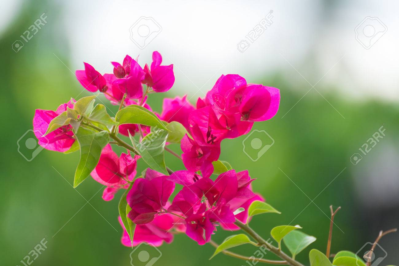 Pink Bougainvillea Flower Or Paper Flower With Leaves In The Stock