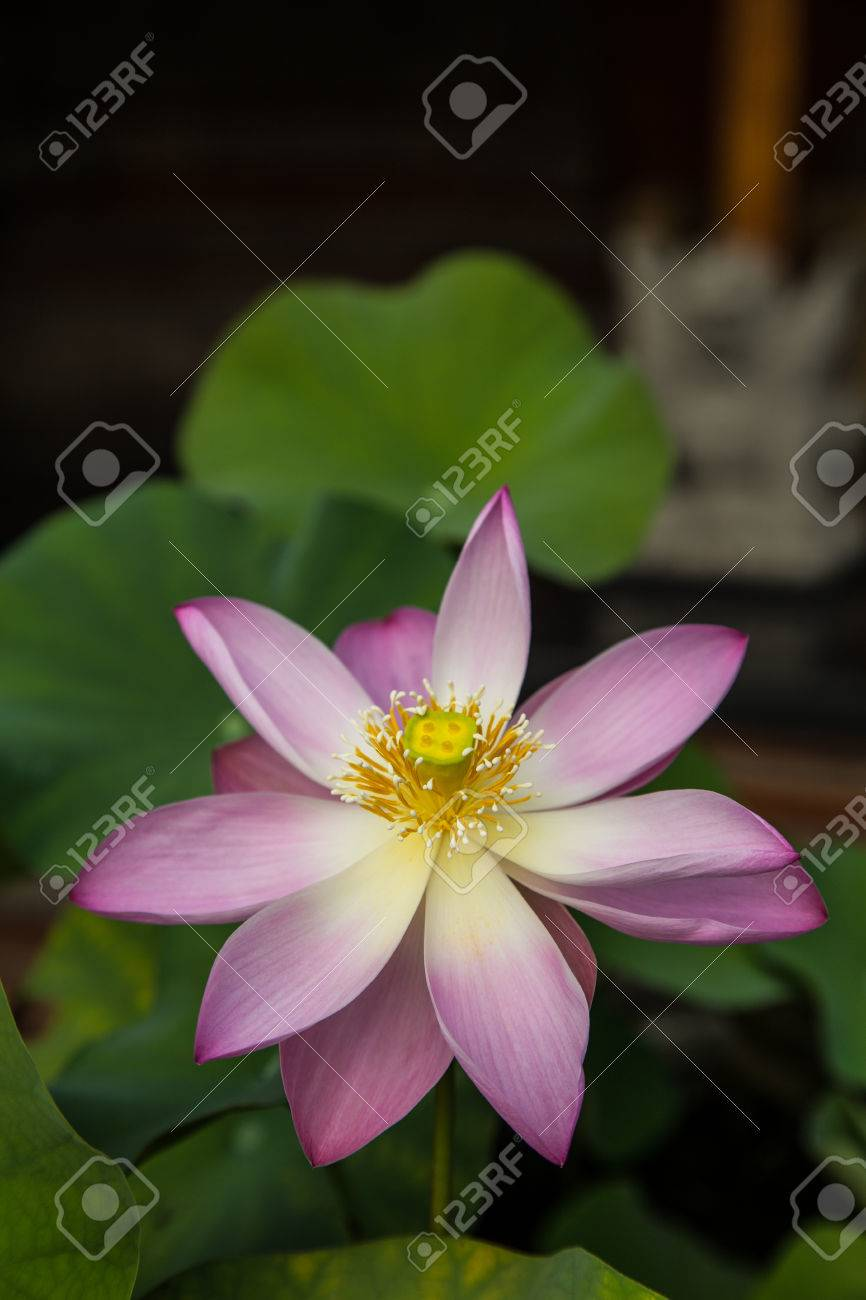 Lotus flower is another extremely common the flowers are beautiful lotus flower is another extremely common the flowers are beautiful and exotic lotus flowers taken from mightylinksfo