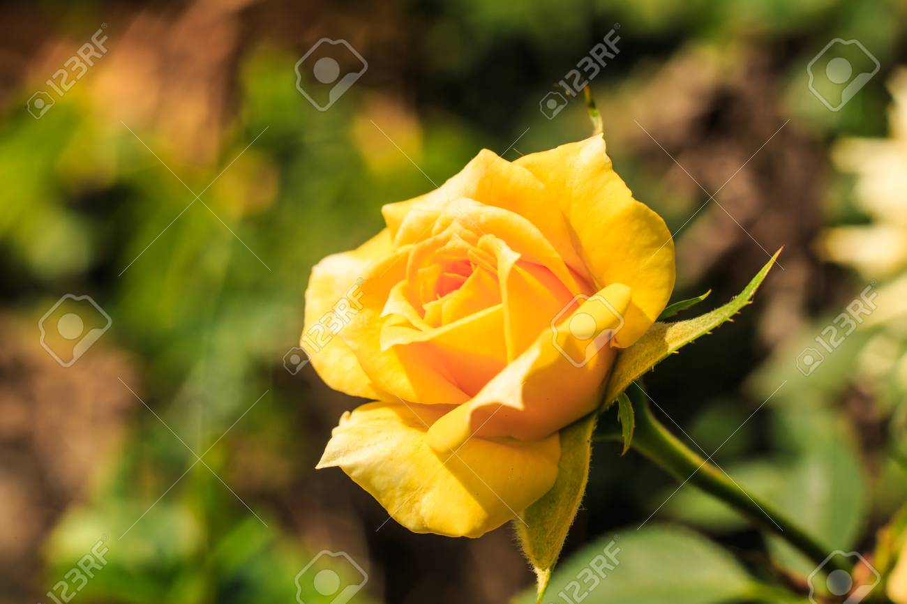 Yellow roses represents peace happiness and beauty in love stock stock photo yellow roses represents peace happiness and beauty in love izmirmasajfo