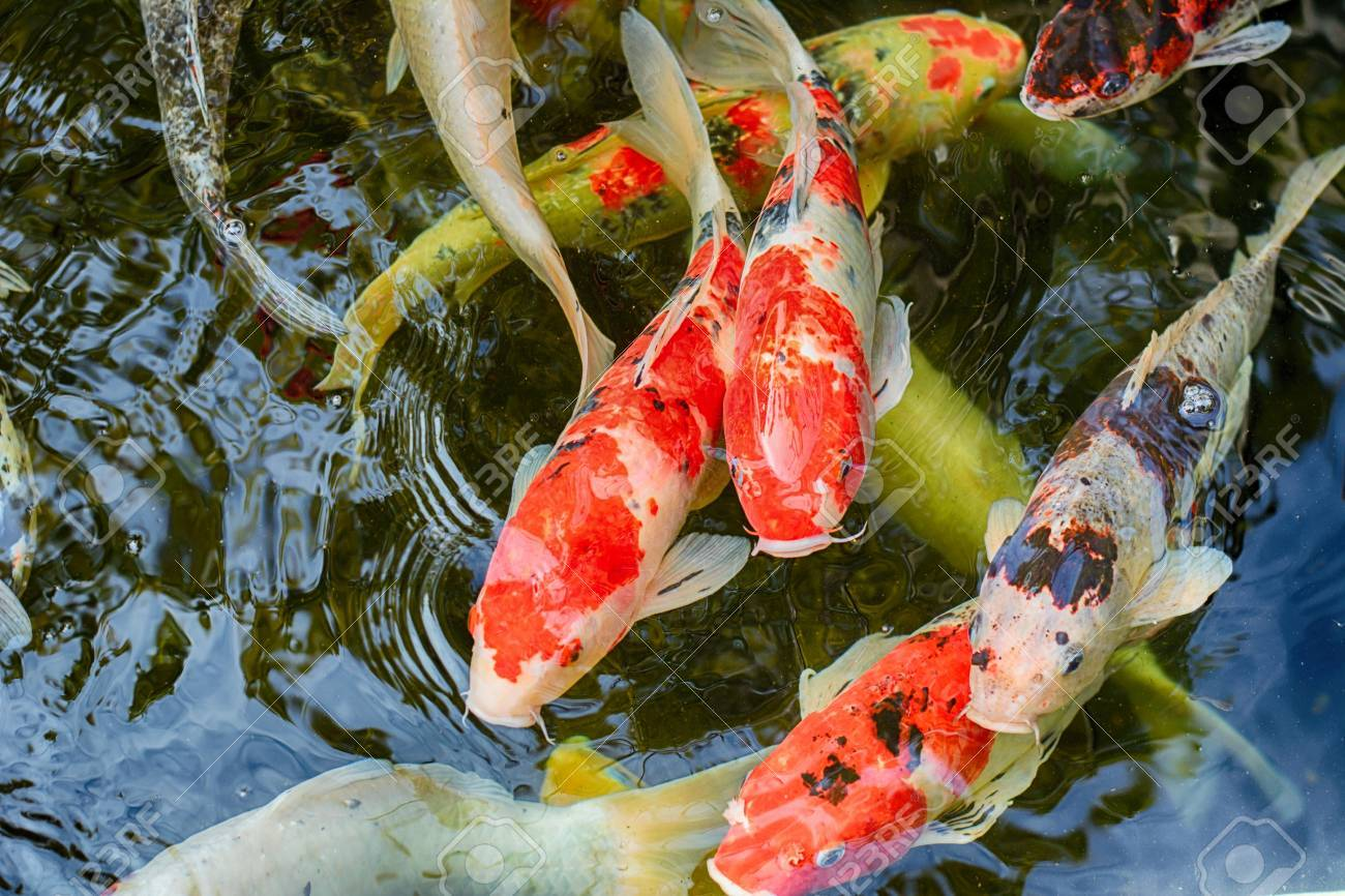 Koi Carps In Various Colors And Sizes In A Fish Pond. Stock Photo ...