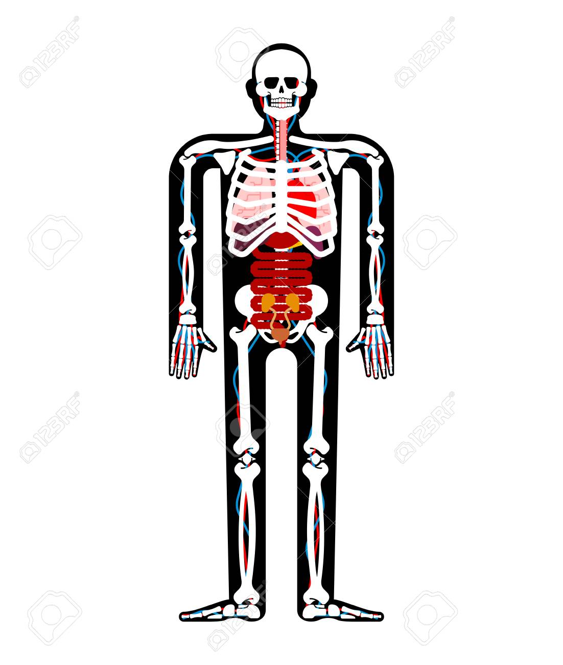 Human Anatomy Skeleton And Internal Organs Systems Of Man Body