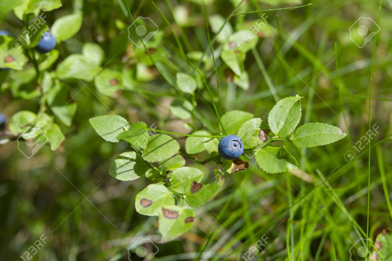 Blueberry in green forest - 14399156