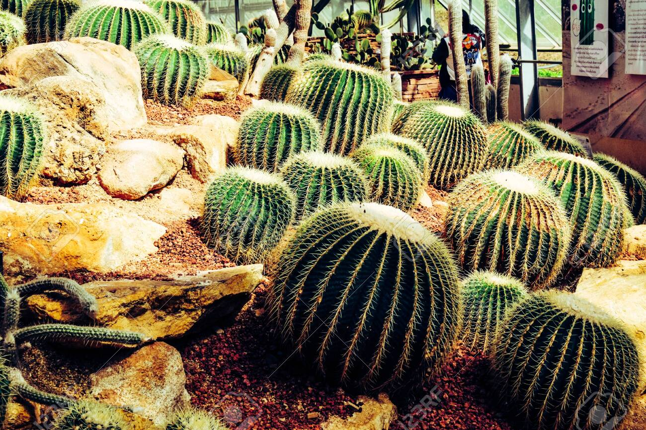 Cactus in the farming garden with soil background - 144043875