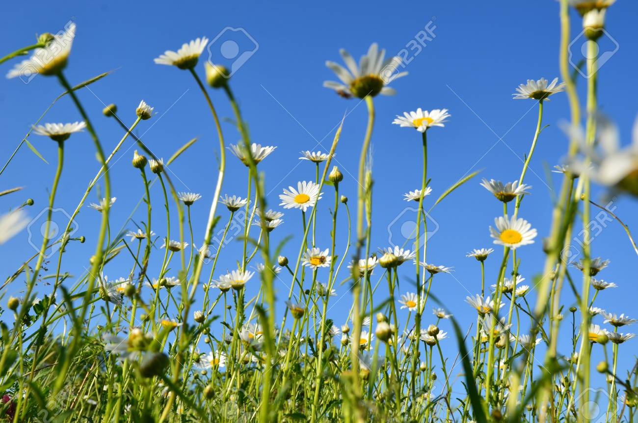 Chamomile Field Nature Natural Background Spring Flowers