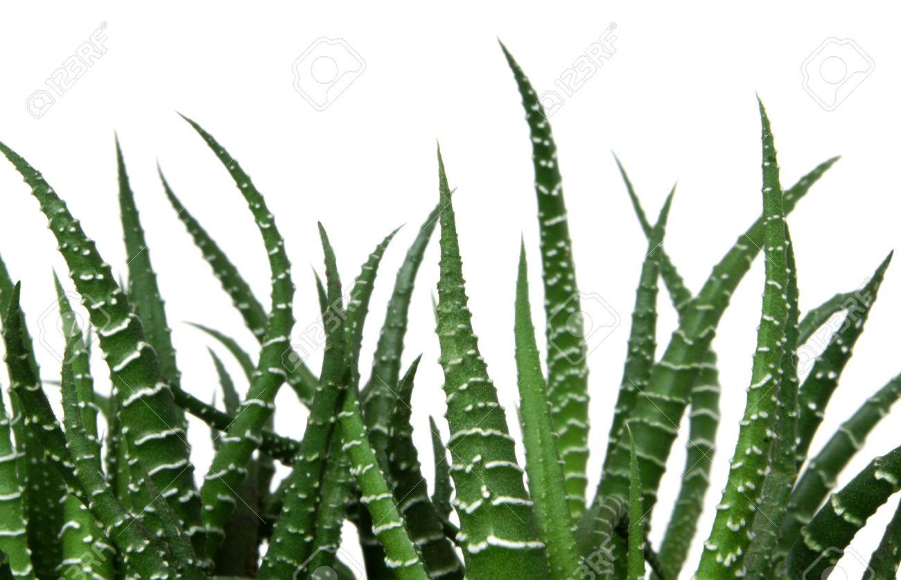 Agave cactus isolated on the white background Stock Photo - 6390479