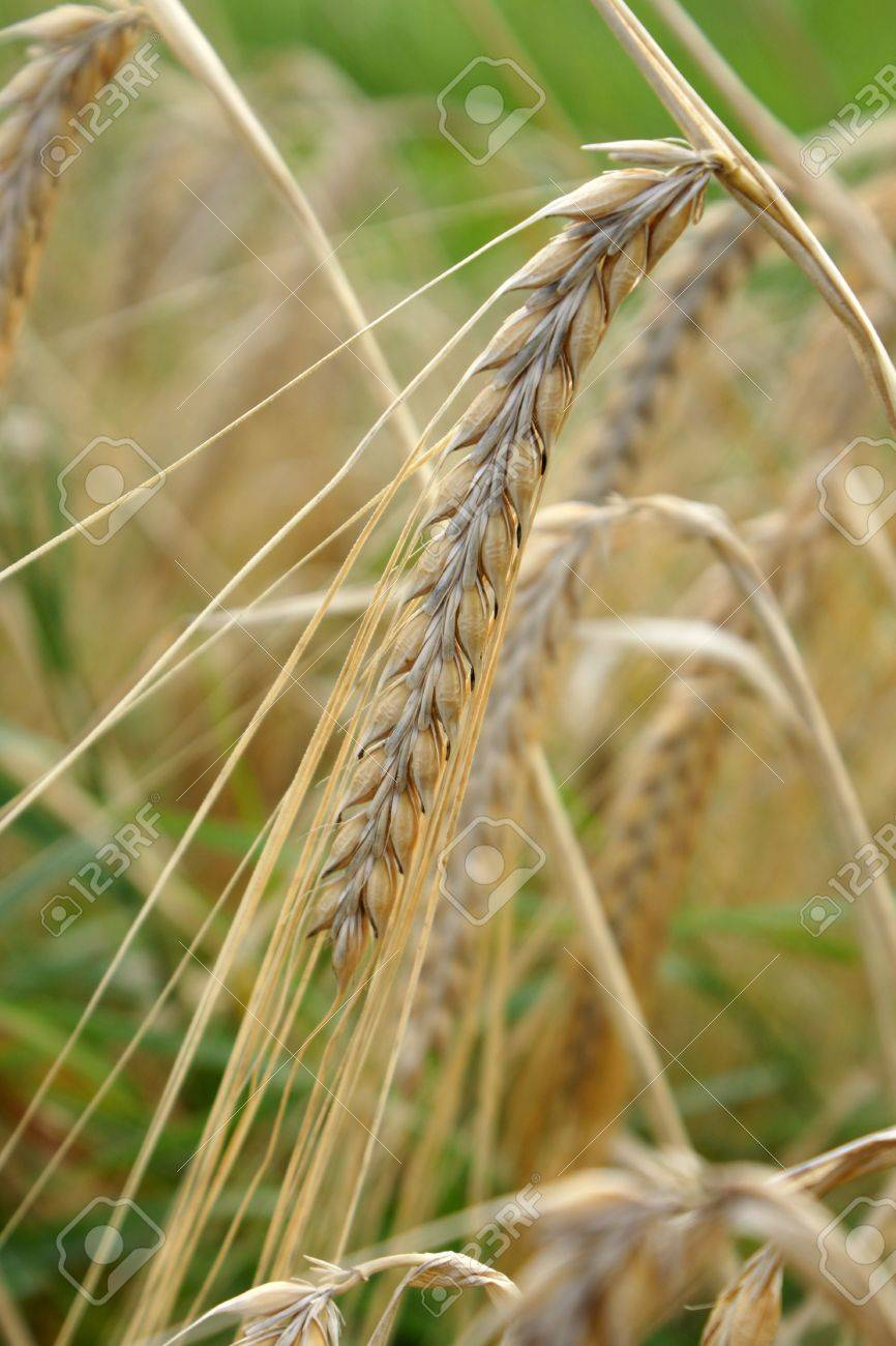 Close-up of ripe ear. Selective focus. Stock Photo - 7752274