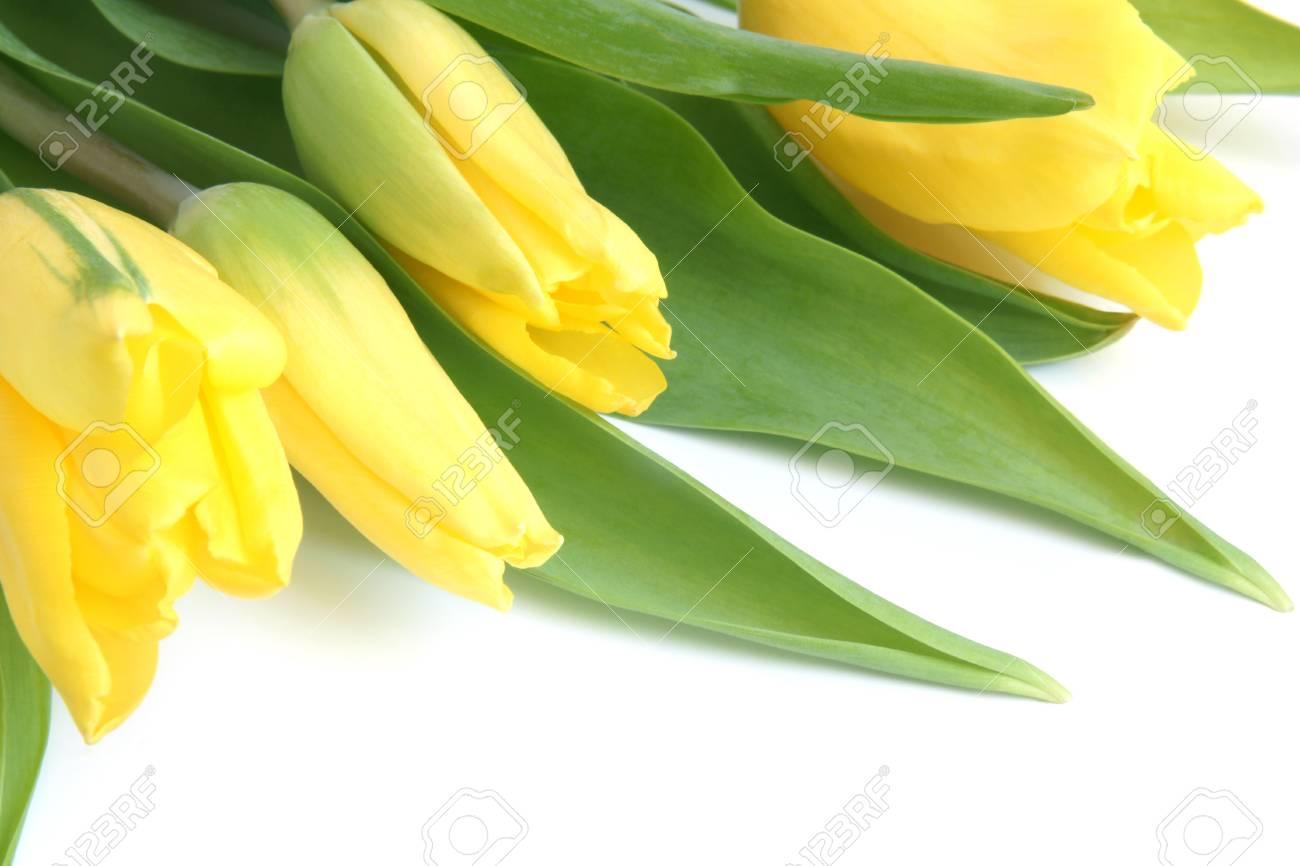 Fresh yellow tulips on a white background Stock Photo - 12812339