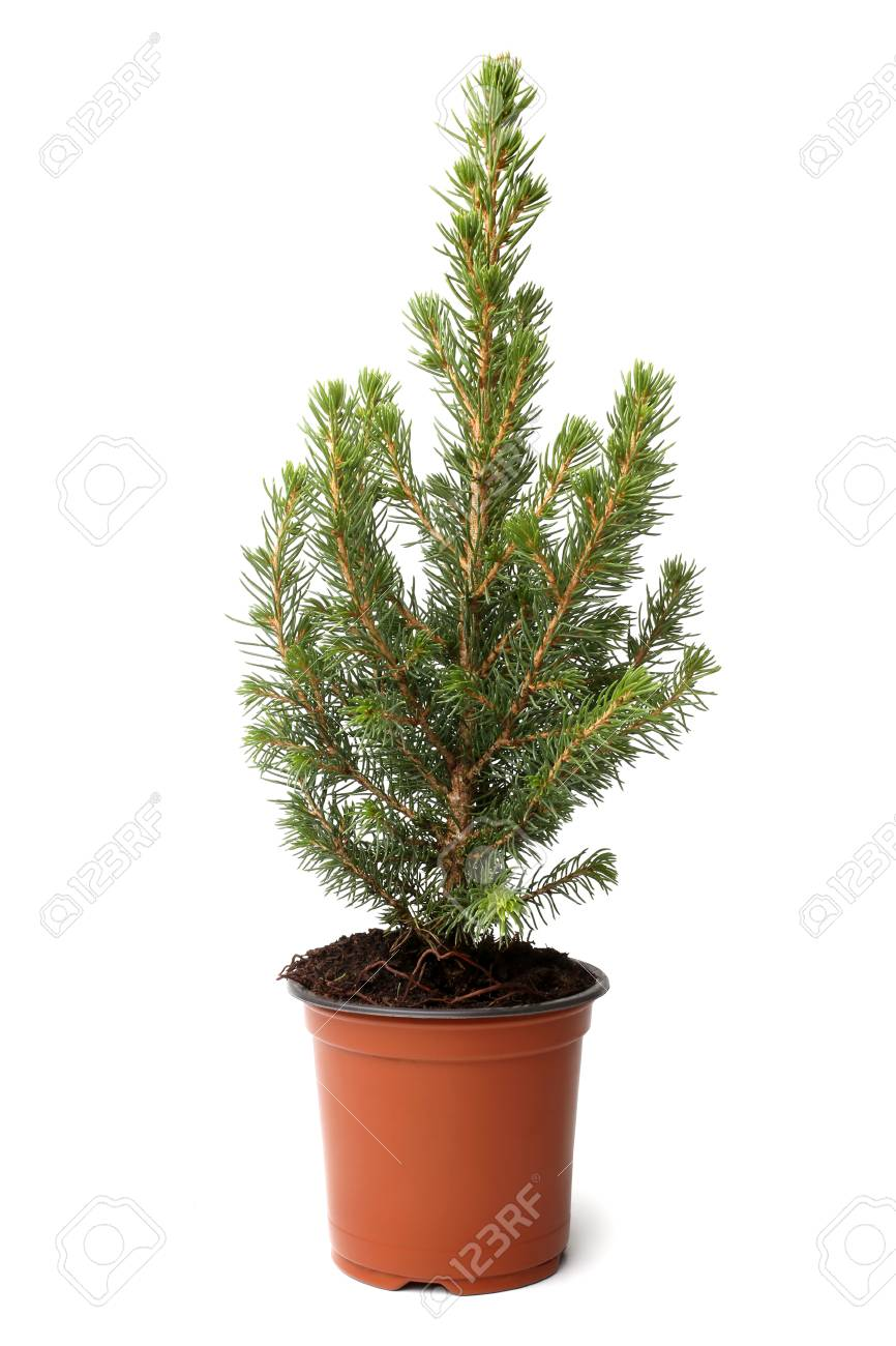Kleiner Tannenbaum Im Topf.Kleiner Tannenbaum Im Topf Weihnachten 2019