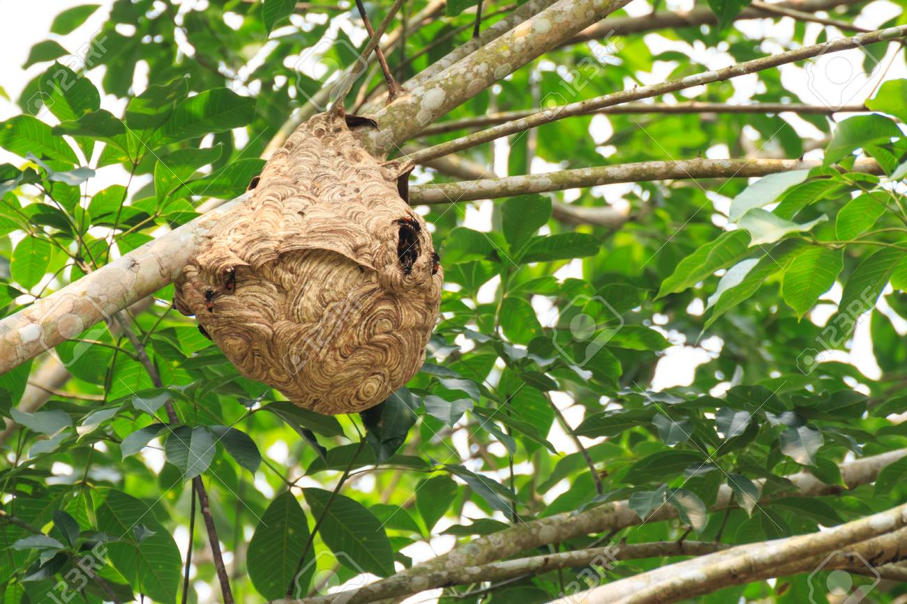 Wasp nest on the tree. - 91355730