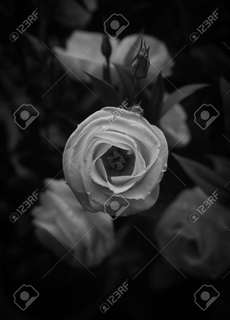 Close up image of beautiful white rose with blurred background close up image of beautiful white rose with blurred background symbol of love buycottarizona Choice Image