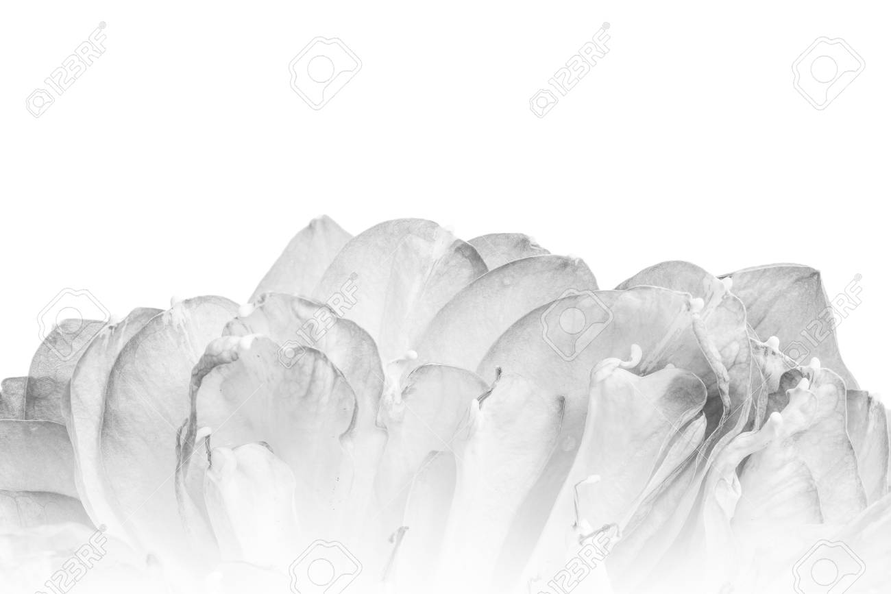 A petal of open lotus flower blossom stock photo picture and a petal of open lotus flower blossom stock photo 80169129 izmirmasajfo