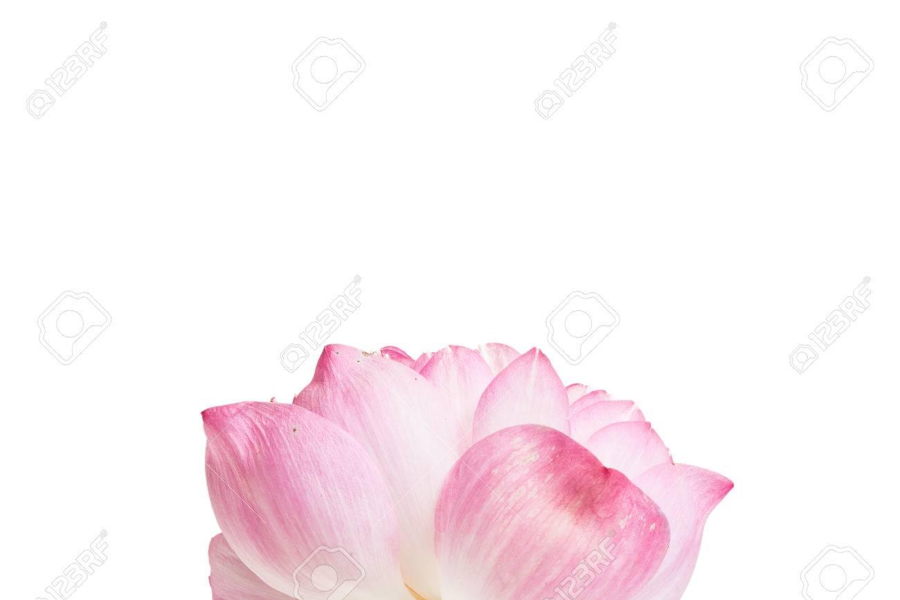 Close up of open lotus flower blossom stock photo picture and close up of open lotus flower blossom stock photo 80465703 izmirmasajfo