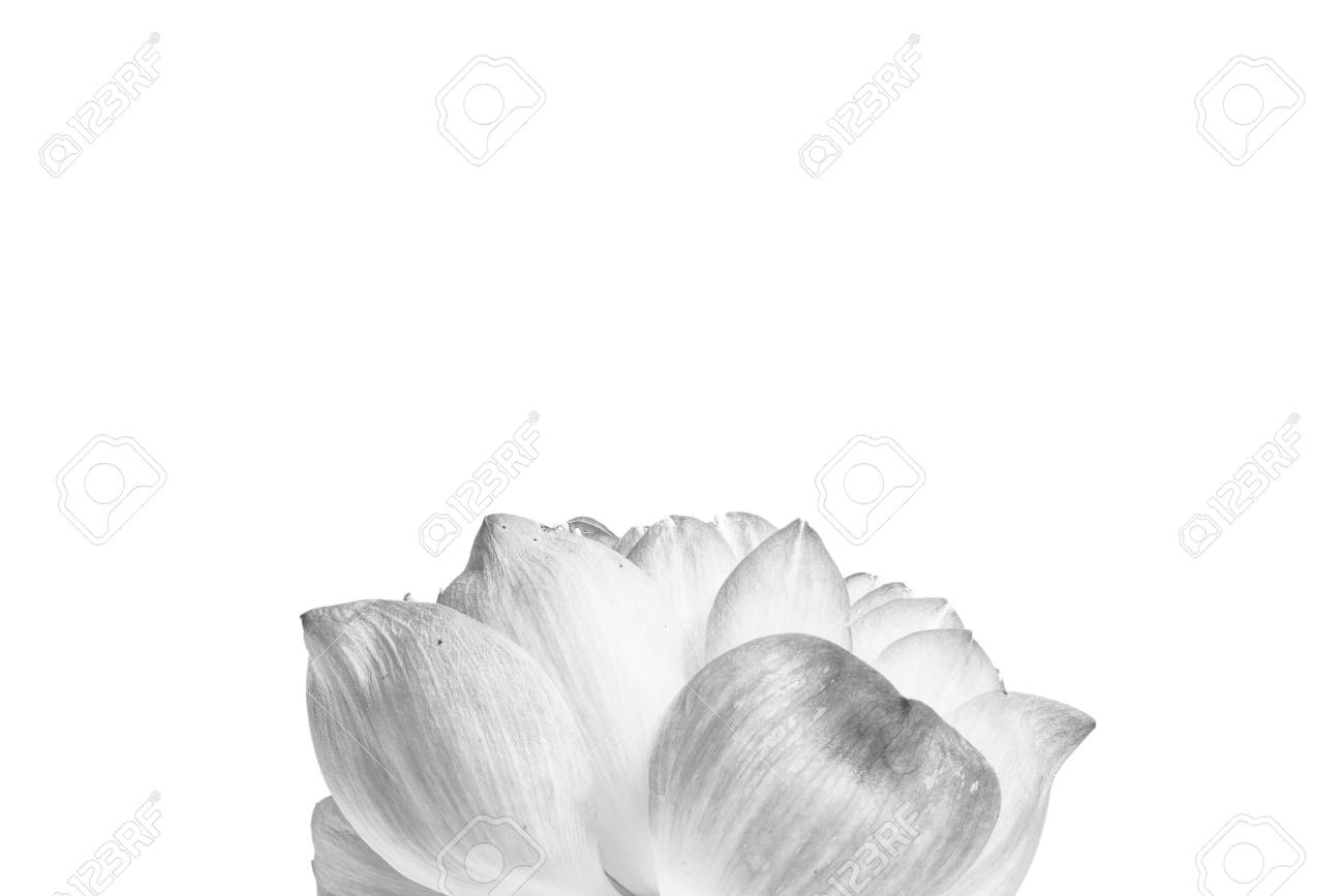 Close up of open lotus flower blossom stock photo picture and close up of open lotus flower blossom stock photo 80465704 izmirmasajfo Gallery