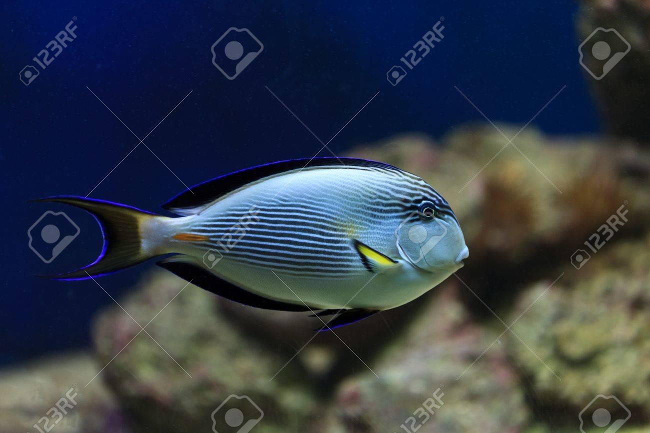 hippo blue tang in coral reef aquarium Stock Photo - 9835475