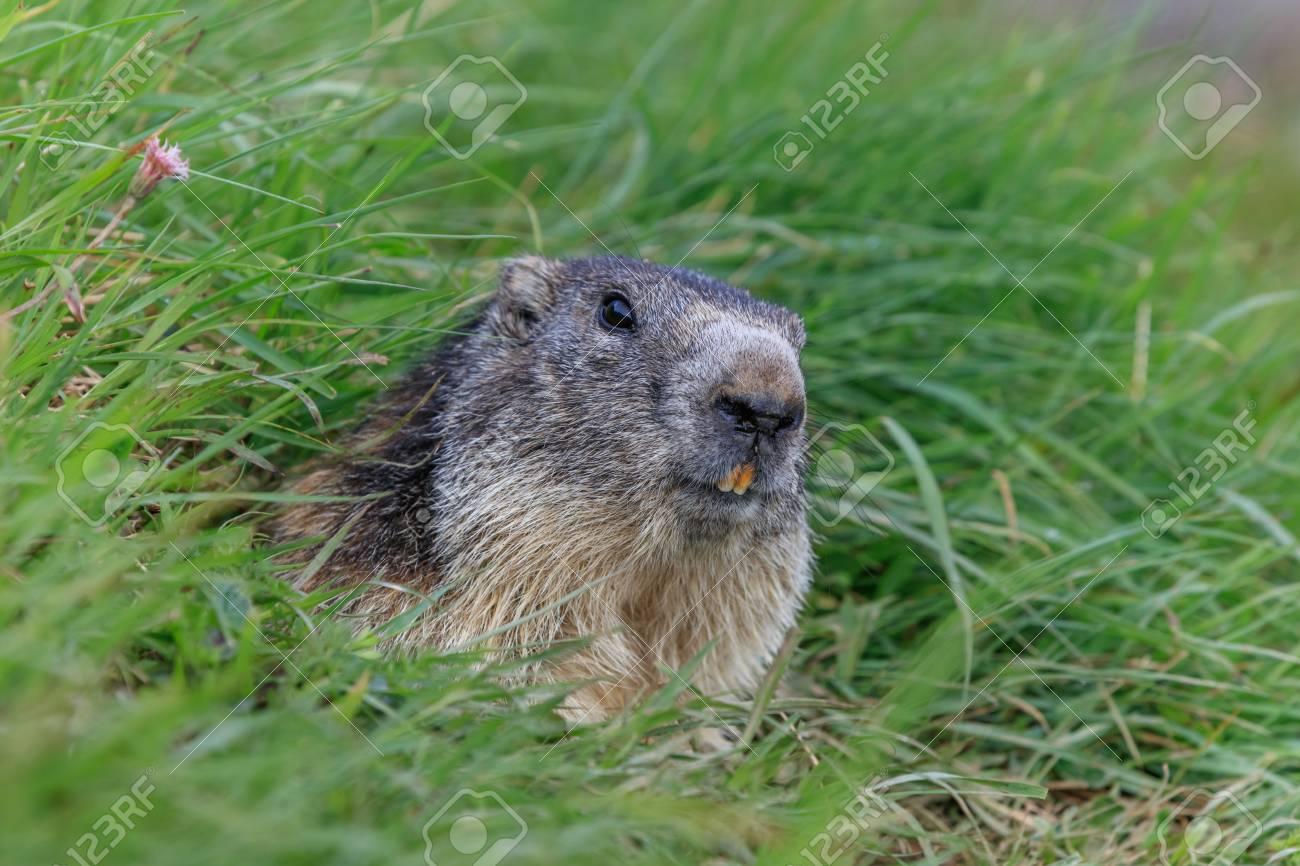 Alpine marmot (Marmota marmota) sticking out from a burrow  French
