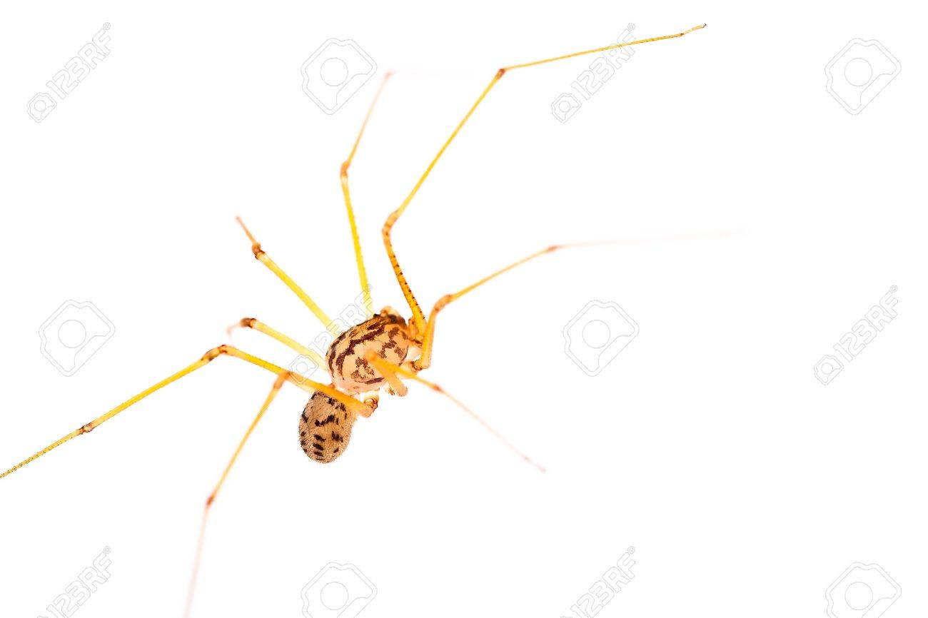 A small long-legged spider over a white background. Supermacro Stock Photo - 19395483
