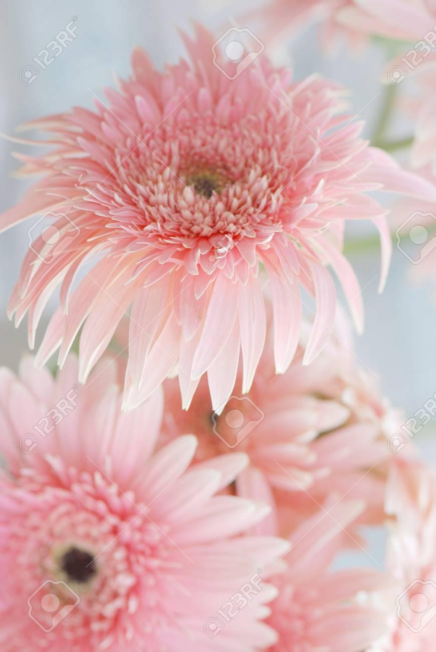 Pink Gerbera Stock Photo - 10179319