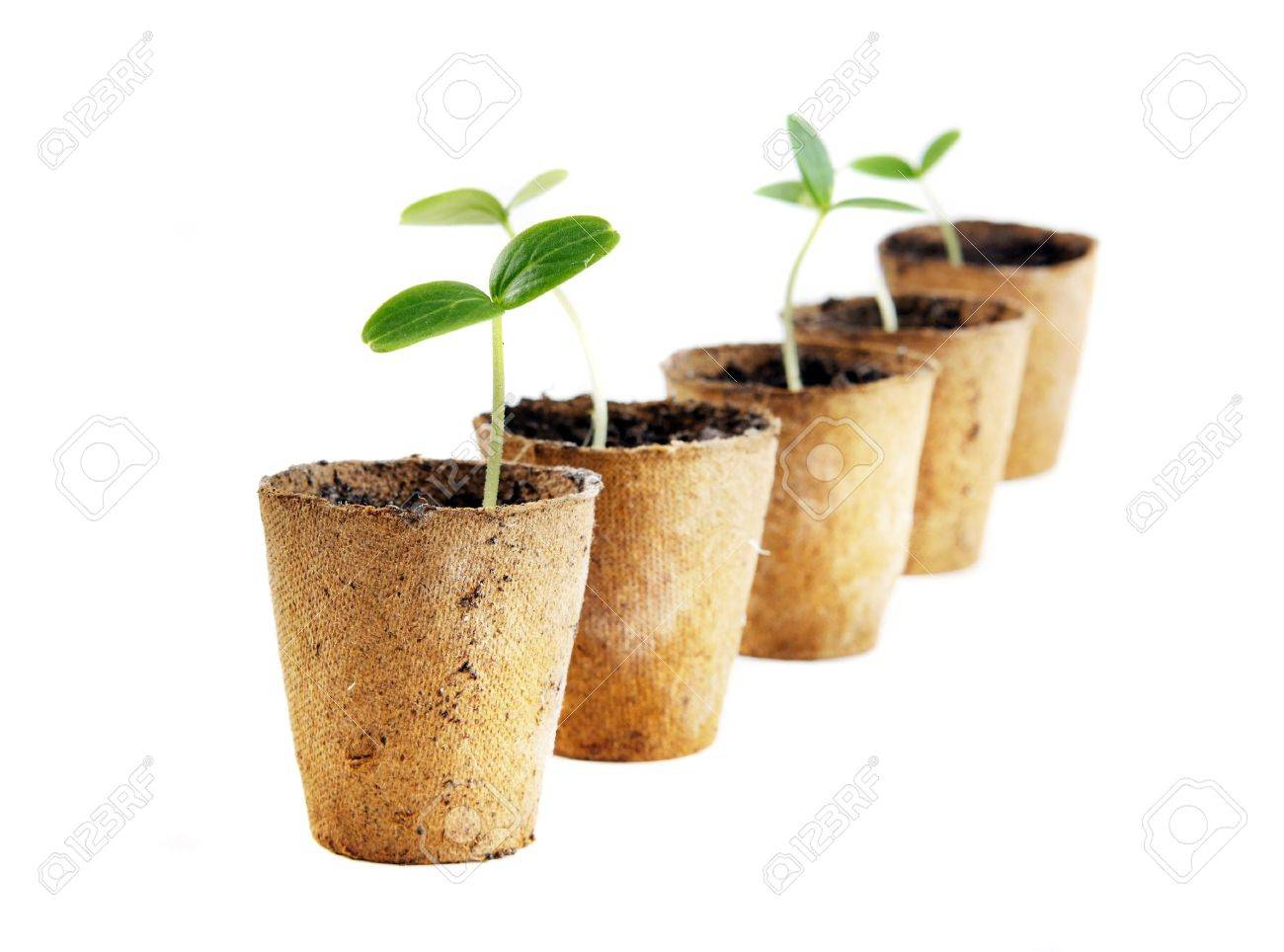 Young fresh seedling stands in peat pots on a white background Stock Photo - 9469145