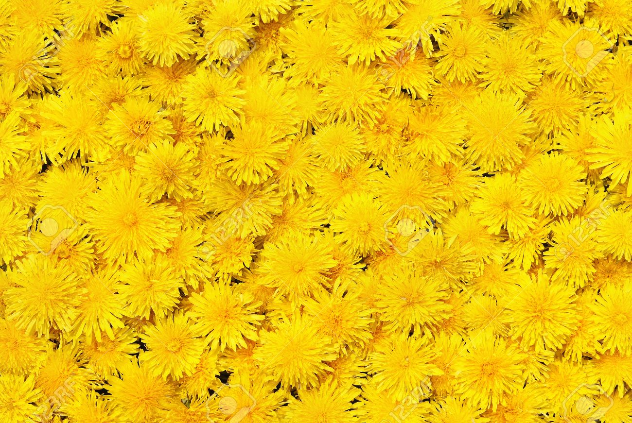 Bright Beautiful Background Of Yellow Flowers Stock Photo Picture